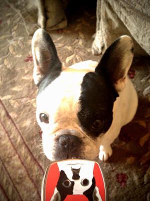 Midge the beautiful frenchie loves her compact mirror too!